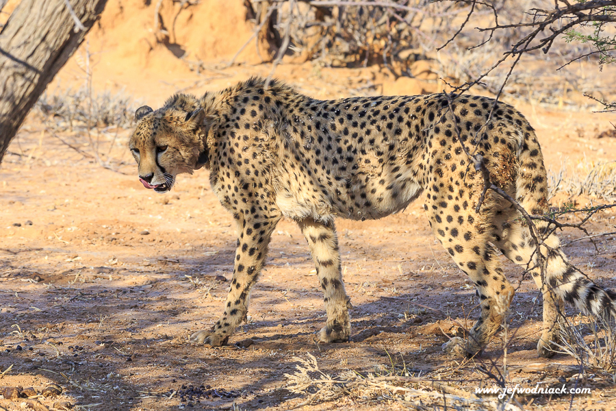 Cheetah à Okonjima
