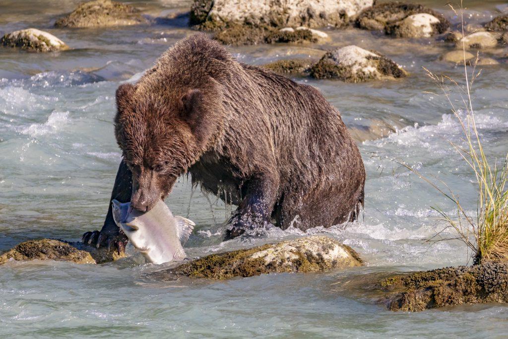 Ours péchant dans la rivière Chilkoot