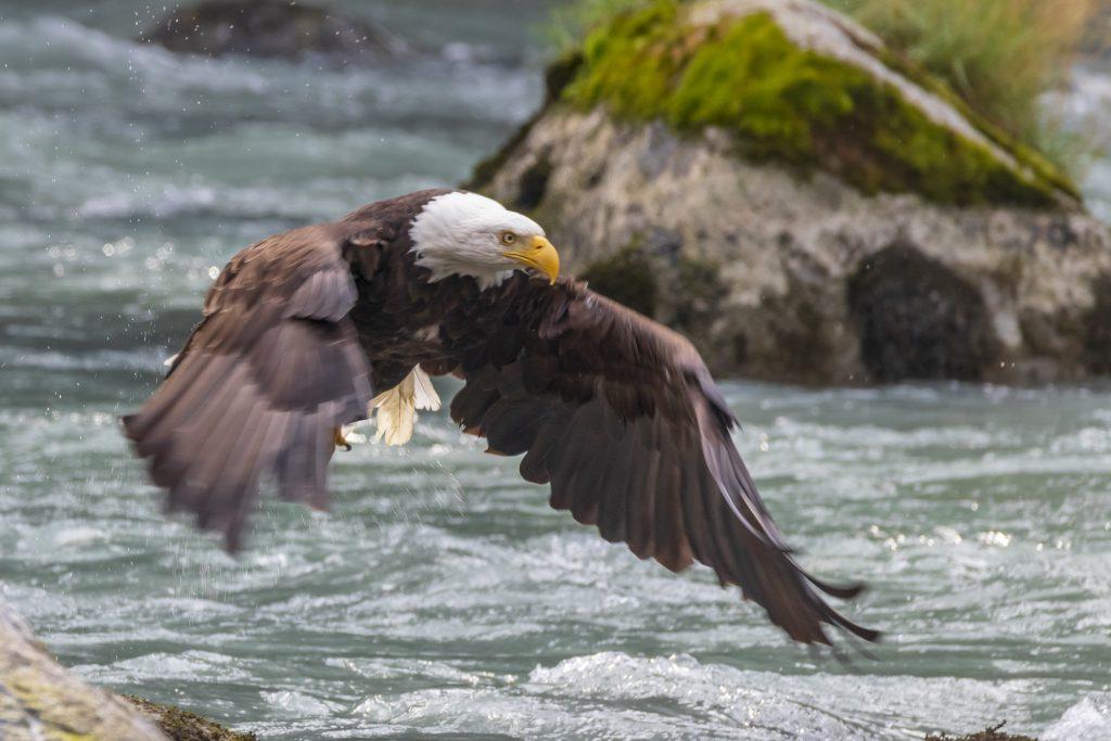 Aigle dans la rivière Chilkoot