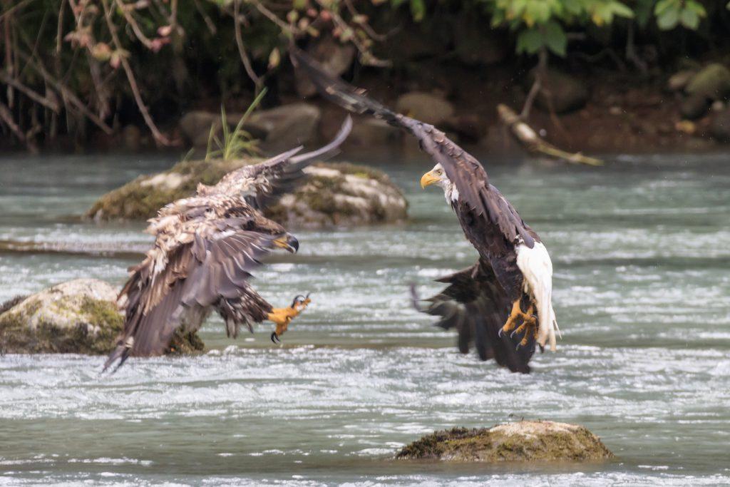 Combat d'aigle au dessus de la rivière Chilkoot.