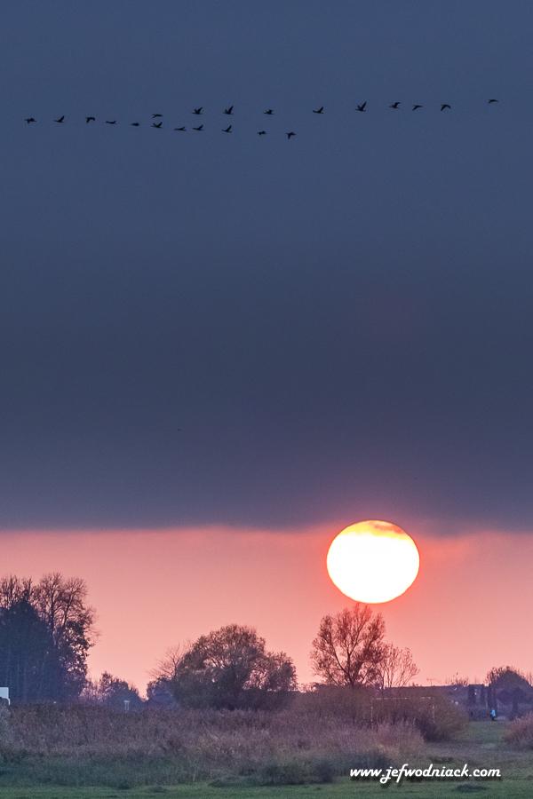 Vol de grues cendrées le soir au couchant.