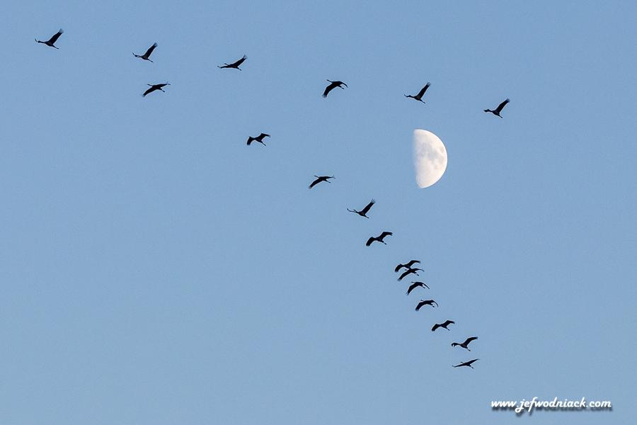 Les grues ont rendez vous avec la lune.