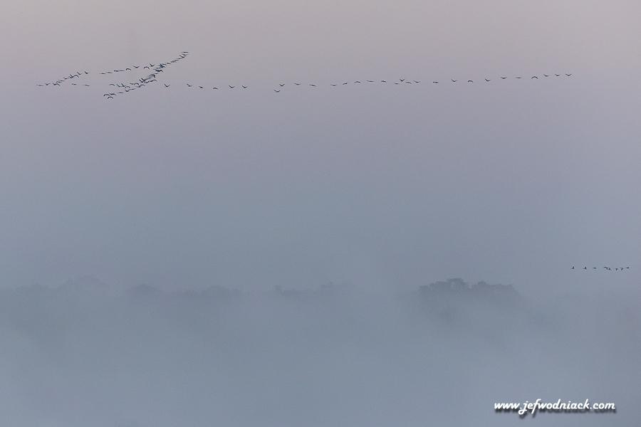 Vol de grues cendrées au petit matin
