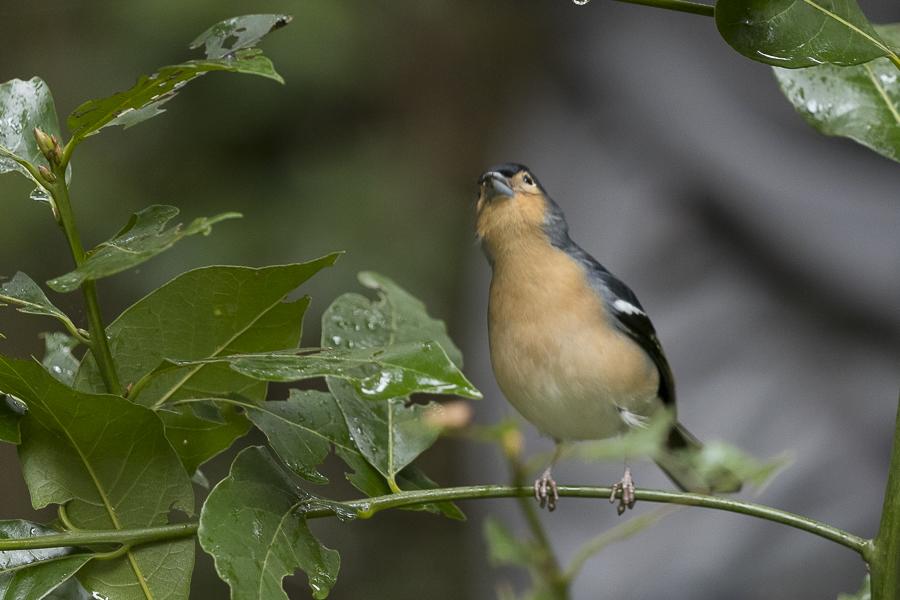 Oiseau dans la forêt primaire de La Gomera