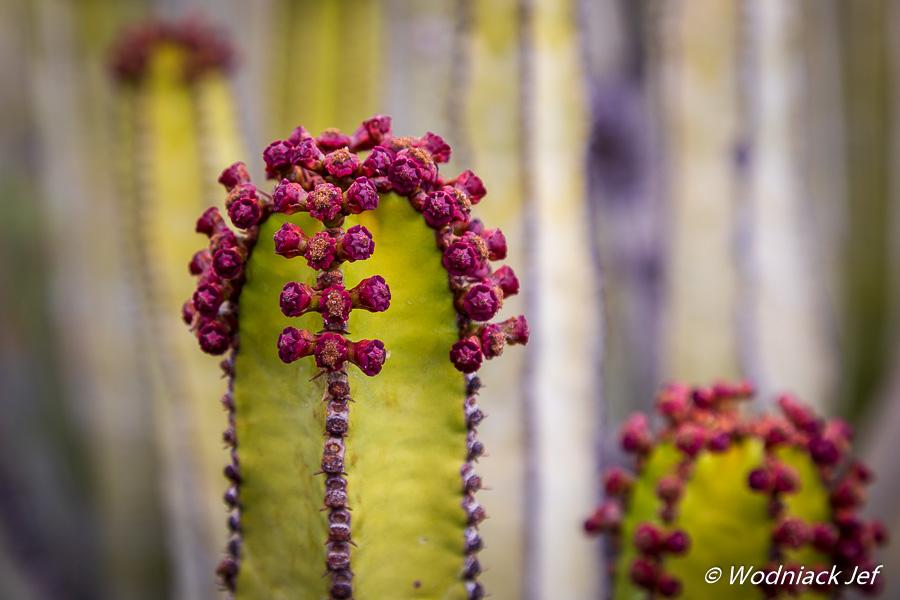Fleur de cactus à Tenerife