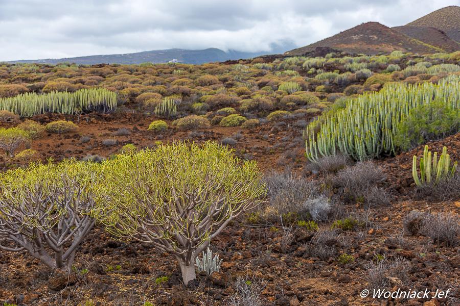 Végétation à Tenerife