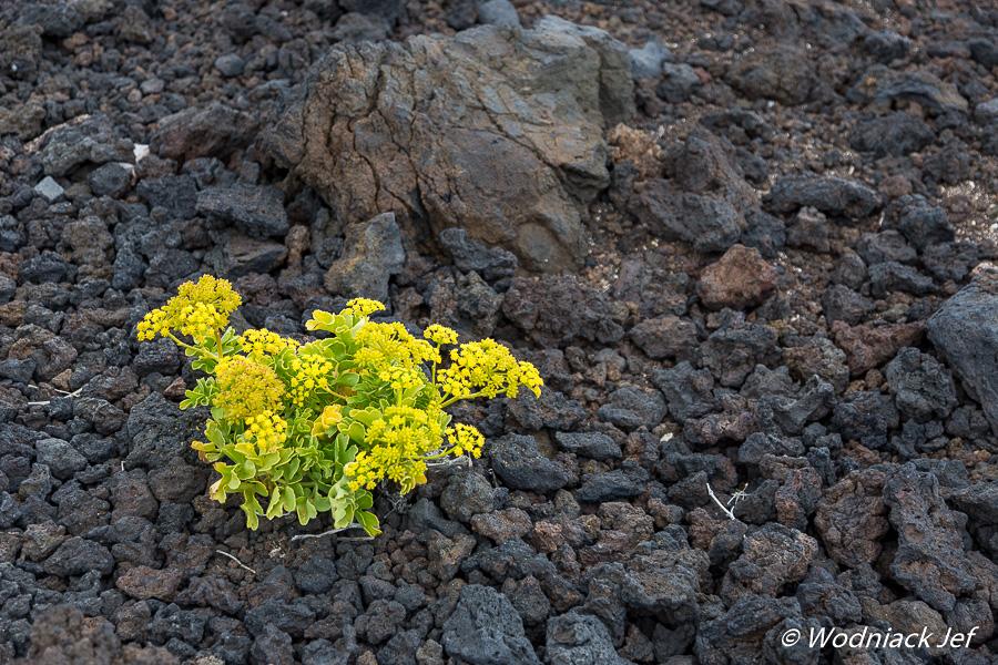 Fleur dans la lave Tenerife